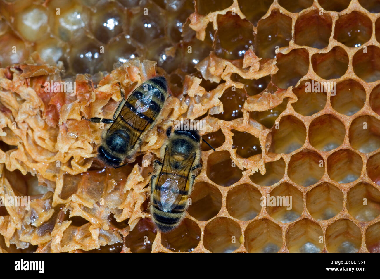 Honey bee worker (Apis mellifera) on comb showing decapped and uncapped cells inside hive, Belgium - Stock Image
