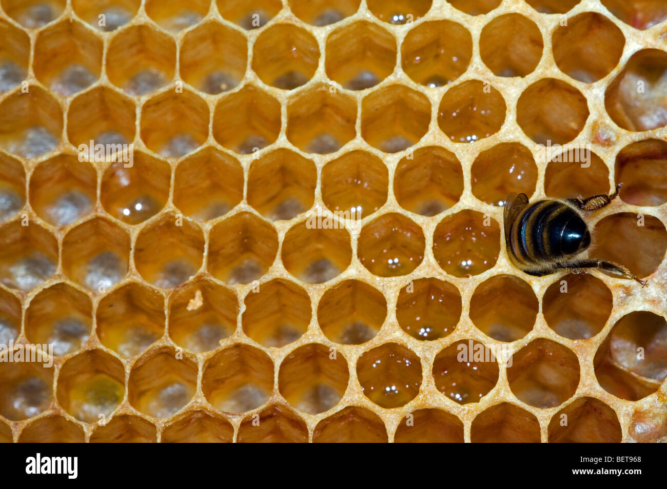 Honey bee worker (Apis mellifera) in cell of comb inside hive, Belgium - Stock Image