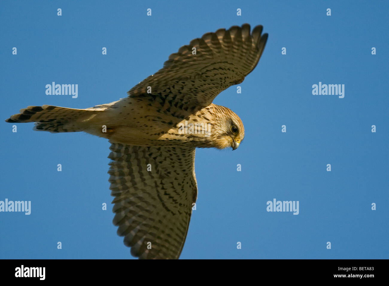Common kestrel (Falco tinnunculus) adult female hovering while hunting - Stock Image