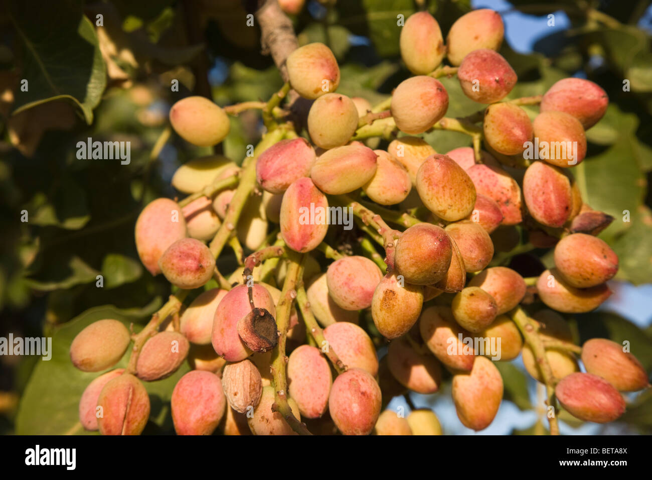 Pistachio Nuts maturing on branch ' - Stock Image