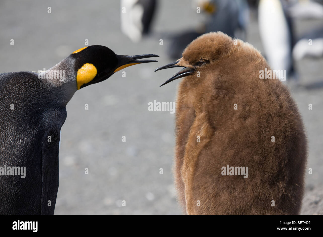 Close-up of bright Adult and downy baby King Penguins talking in South Georgia, Antarctica - Stock Image