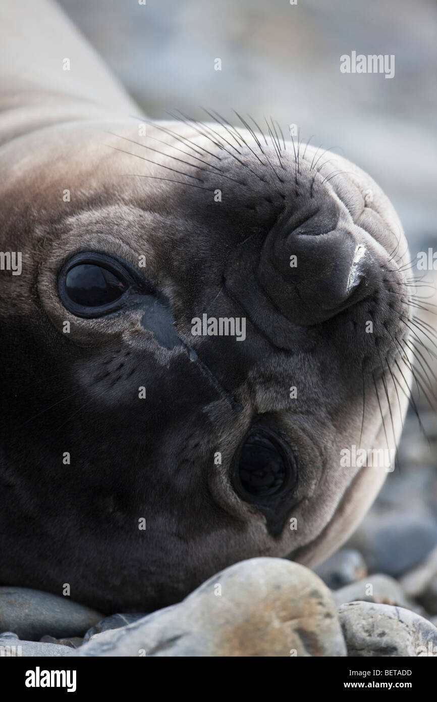 Cute Baby elephant seal, big sad eyes, close up face portrait South Georgia Antarctica - Stock Image