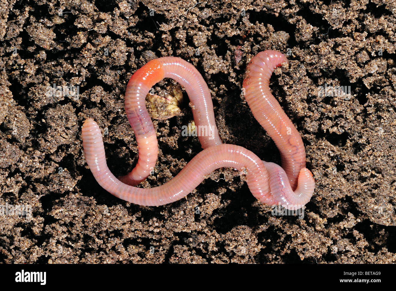 Two common earthworms / lob worms (Lumbricus terrestris) crawling on the ground in garden - Stock Image