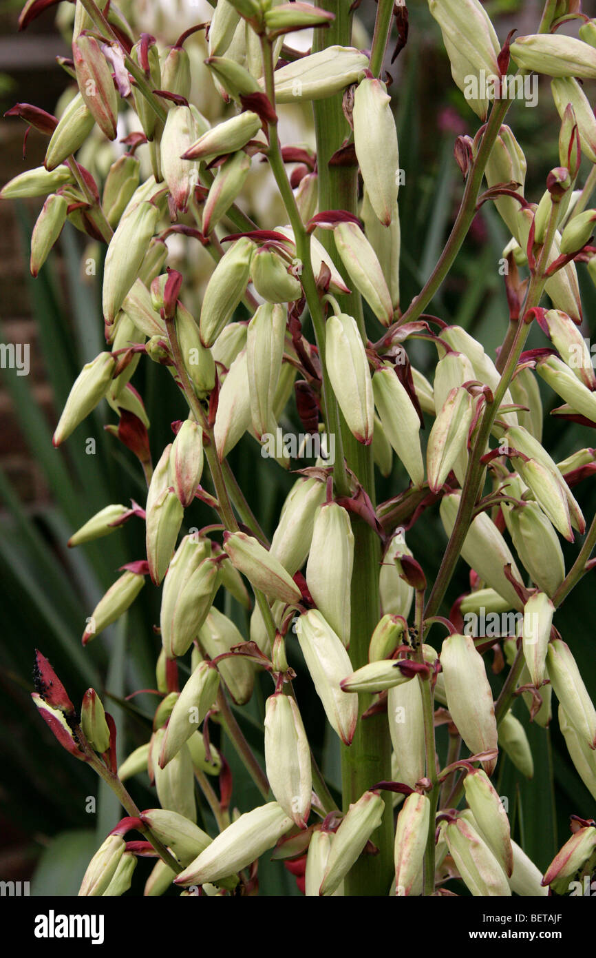 "Yucca ""Vittorio Emmanuel"" (Yucca aloifolia purpurea x Yucca recurvifolia), Agavaceae Stock Photo"