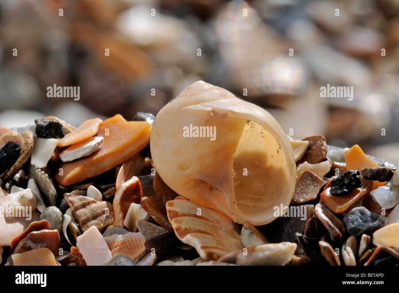 Alder's moon snail / Common necklace shell (Euspira pulchella / Euspira nitida) on beach - Stock Image