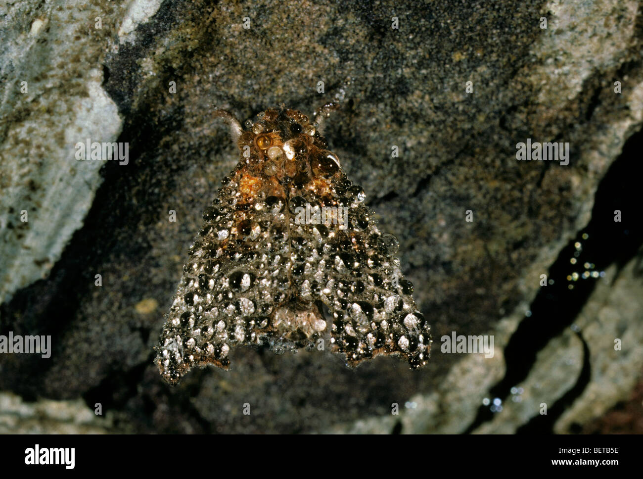 Hibernating herald moth (Scoliopteryx libatrix) covered in dew, Europe - Stock Image