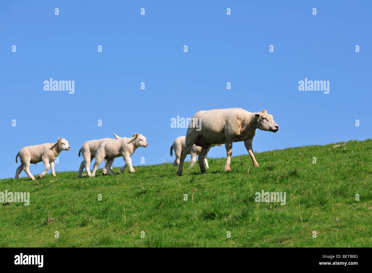 Domestic Texel sheep (Ovis aries) lambs following ewe in meadow, the Netherlands - Stock Image