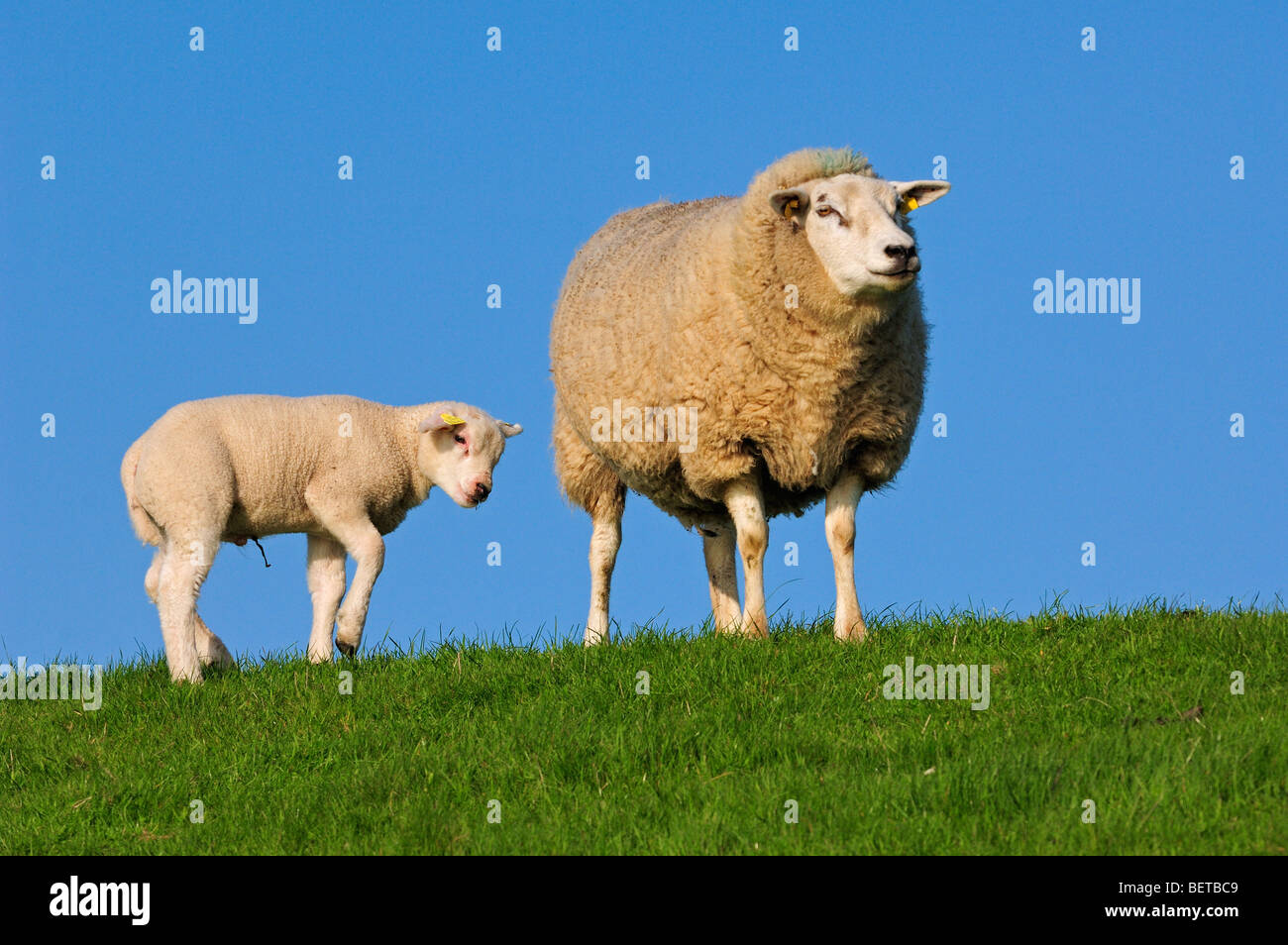 Domestic Texel sheep (Ovis aries) ewe with lamb in meadow, the Netherlands - Stock Image