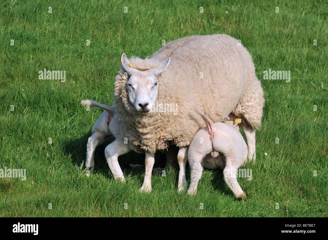 Domestic Texel sheep (Ovis aries) ewe suckling twin lambs in meadow, the Netherlands - Stock Image