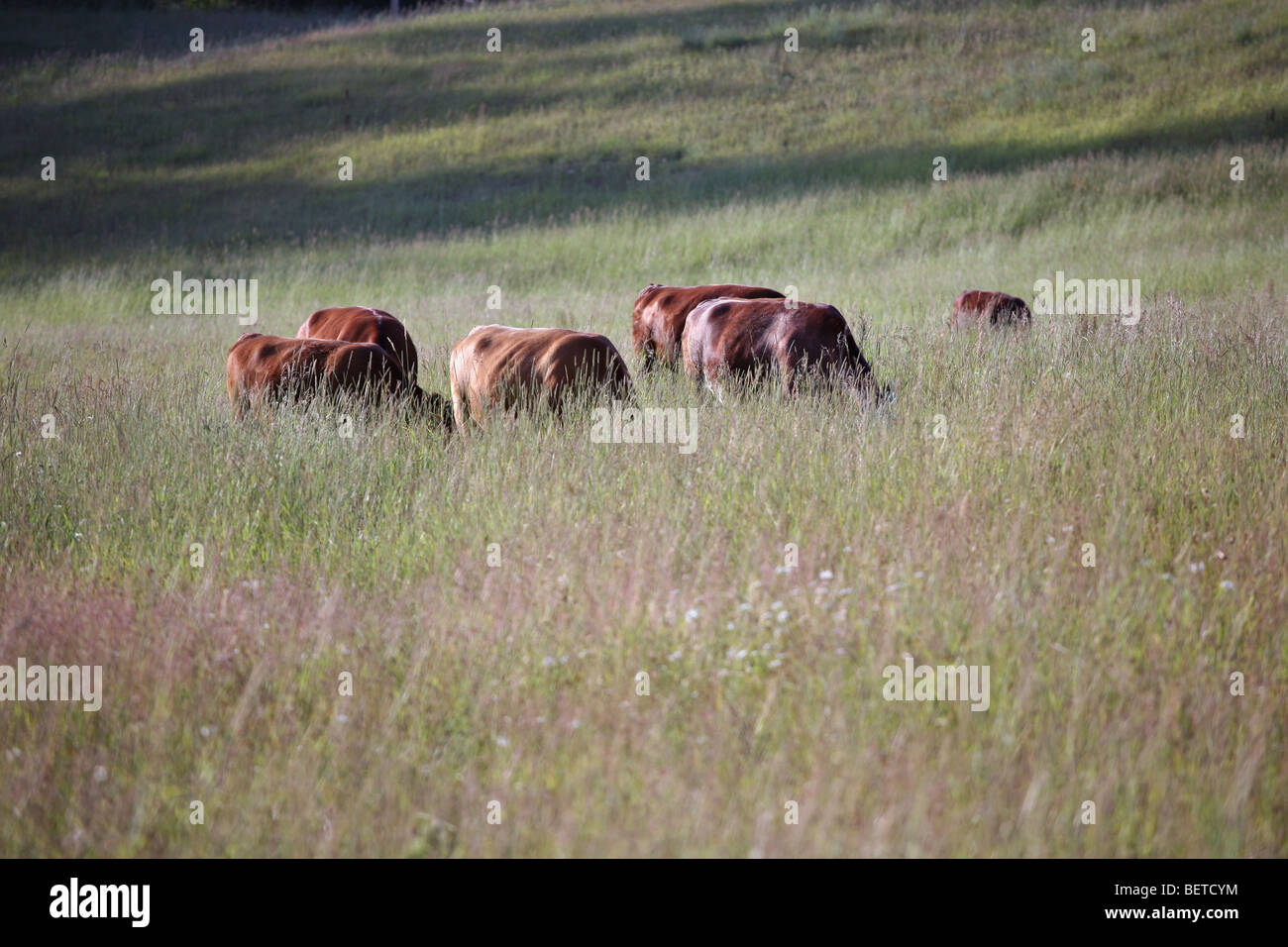 Cows grazing in the high grass, near Sandpoint, Idaho. - Stock Image