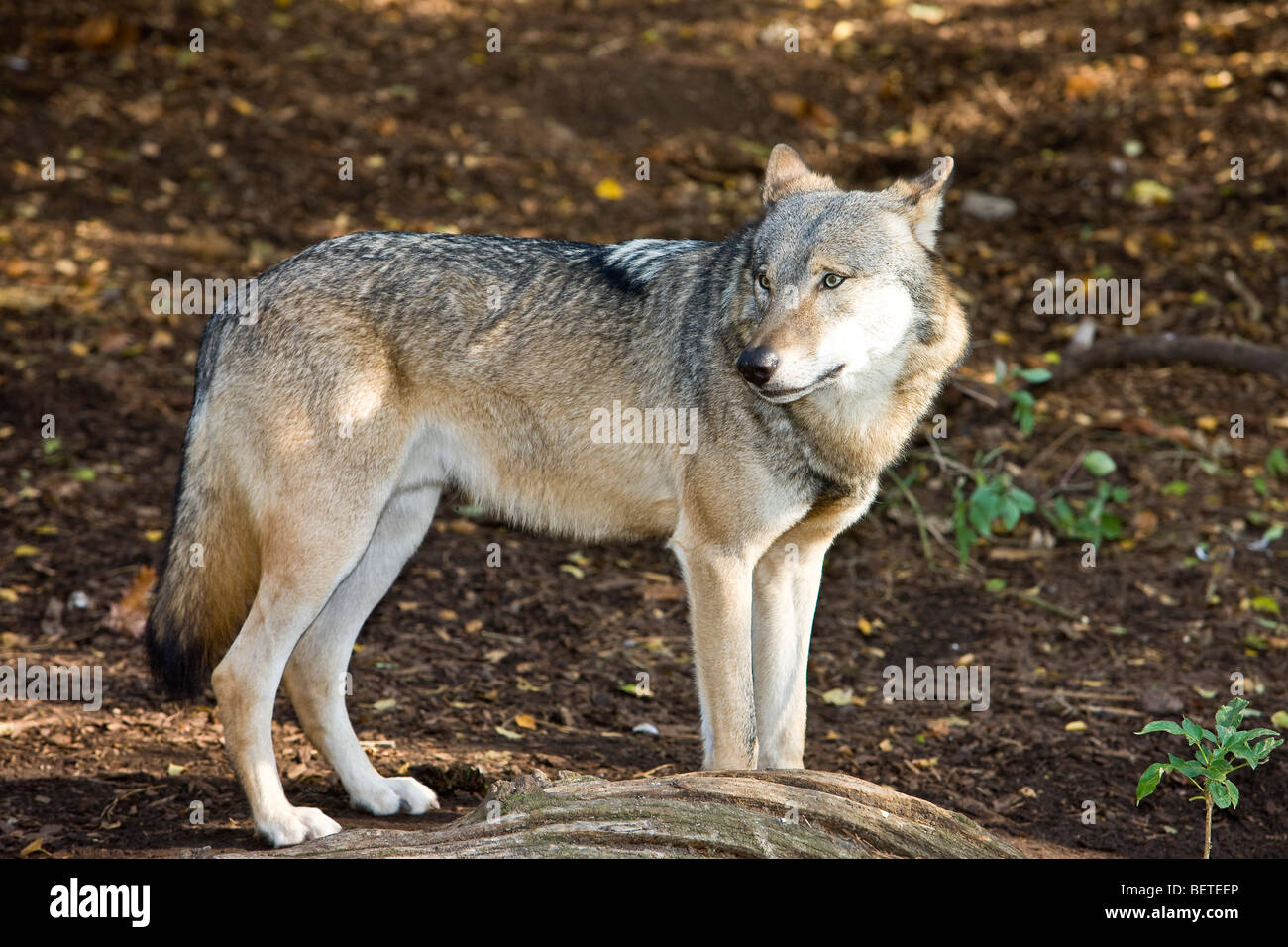 Grey Wolf on alert in the forrest - Stock Image