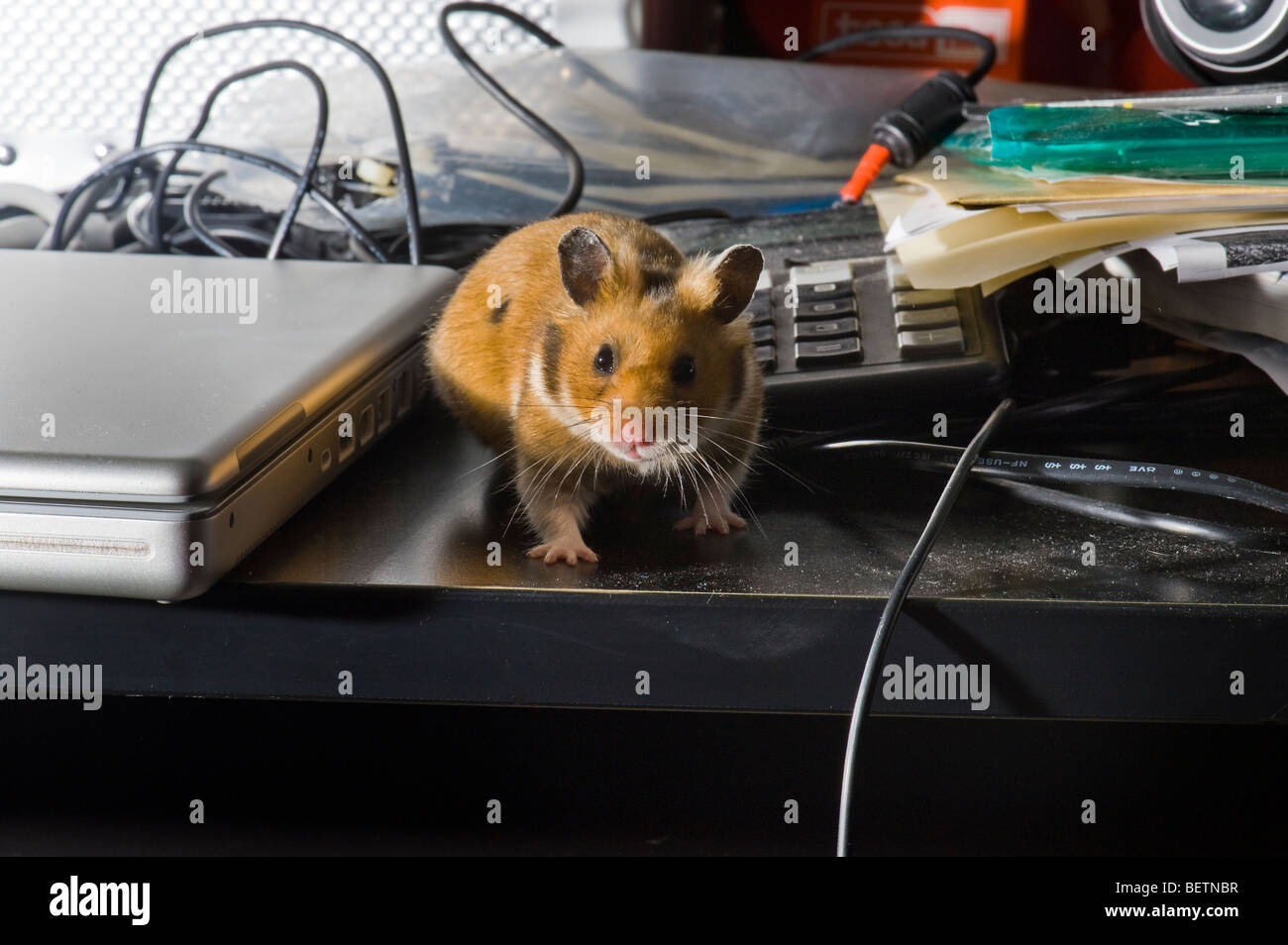 free-range free range HAMSTER bureau attitude desk PC computer mac kable caught run running no cage table goldhamster - Stock Image