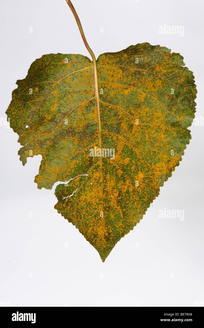 Poplar rust (Melampsora larici-populini) on the leaf of Populus robusta - Stock Image