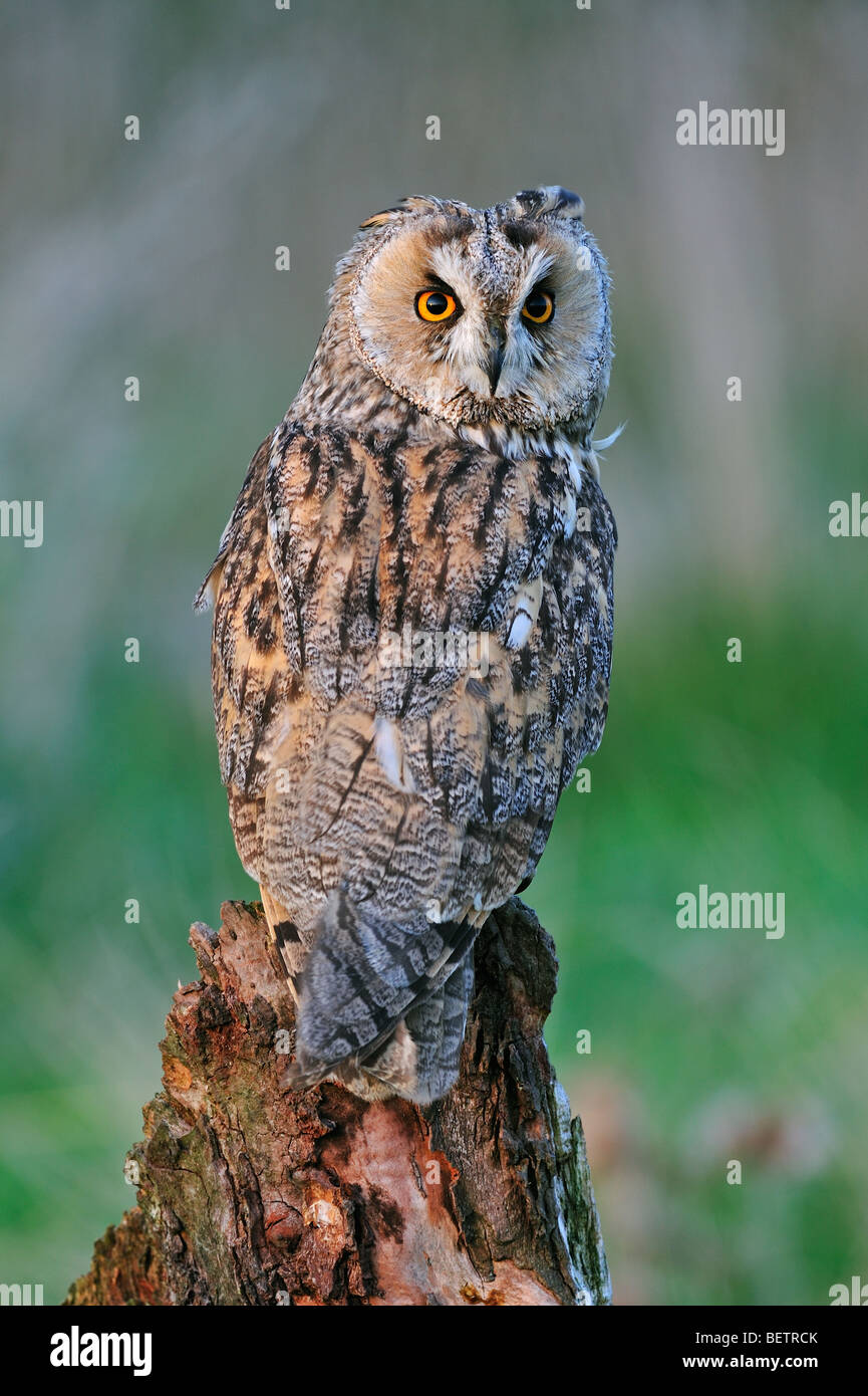 Long-eared owl / long eared owl (Asio otus) perched on tree stump at forest's edge looking backward, England, - Stock Image