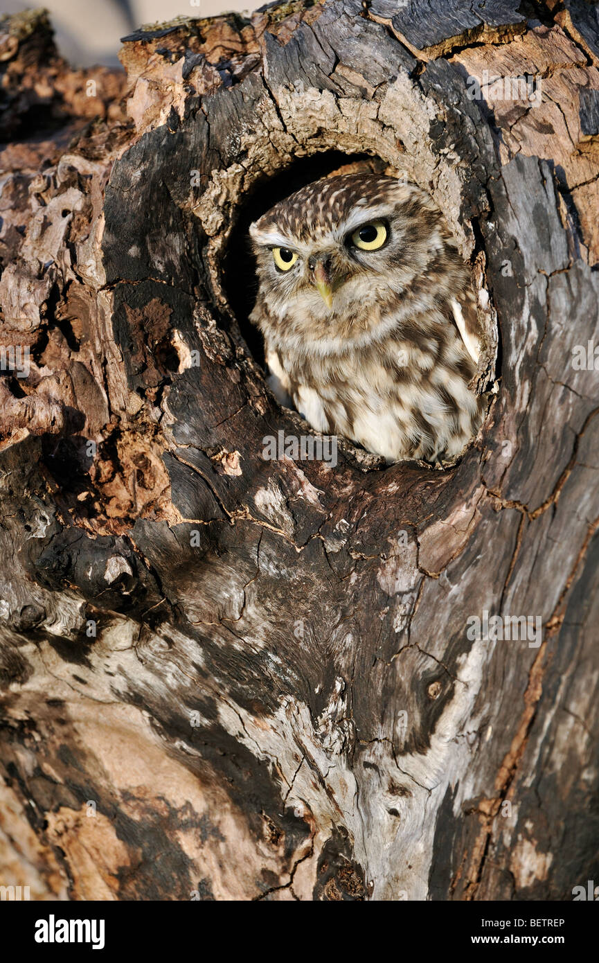 Close up of nesting Little owl (Athene noctua) sticking head out to peer from nest hole in hollow tree cavity Stock Photo
