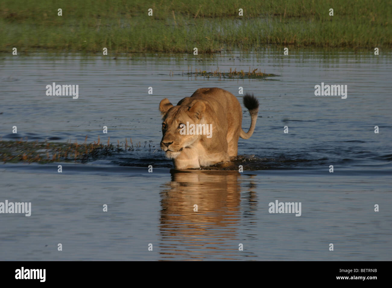 Lioness tentatively crossing the channel in Linyanti Concession, Botswana. - Stock Image