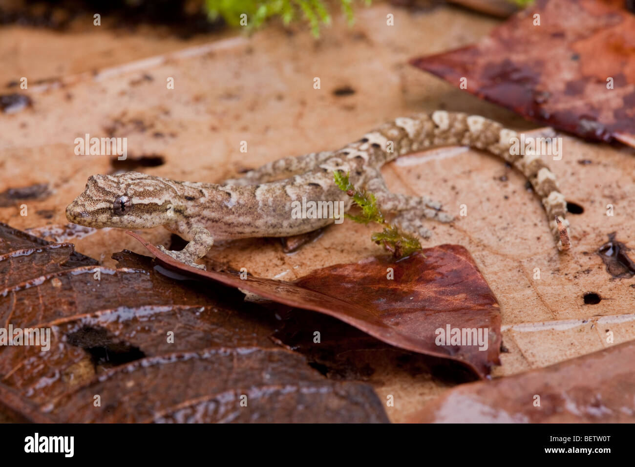 Mourning gecko parthenogenesis asexual reproduction