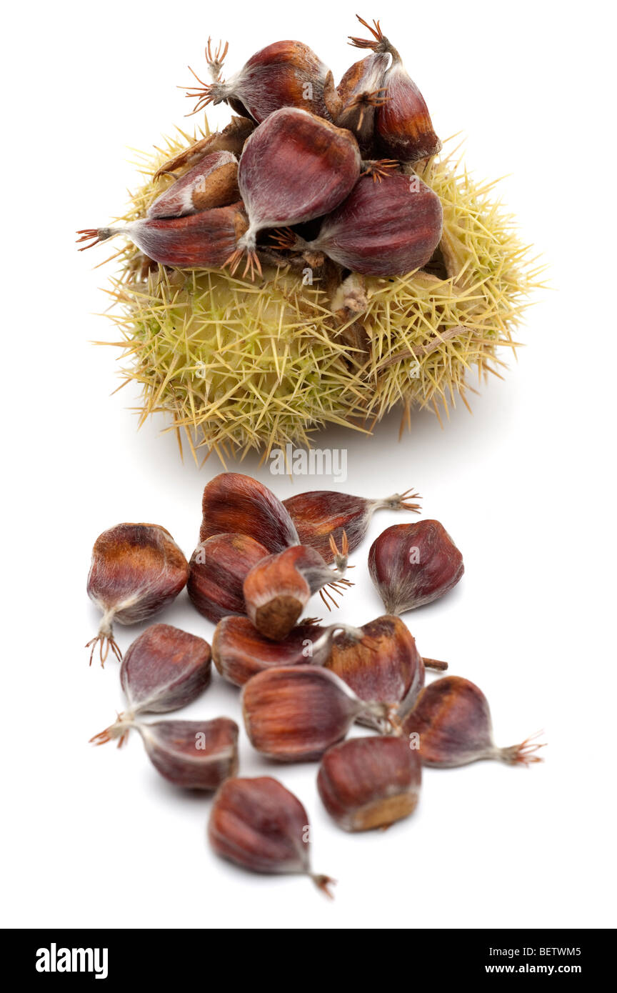 Castanea sativa sweet chestnut fruits in 'spiny cupule' - Stock Image