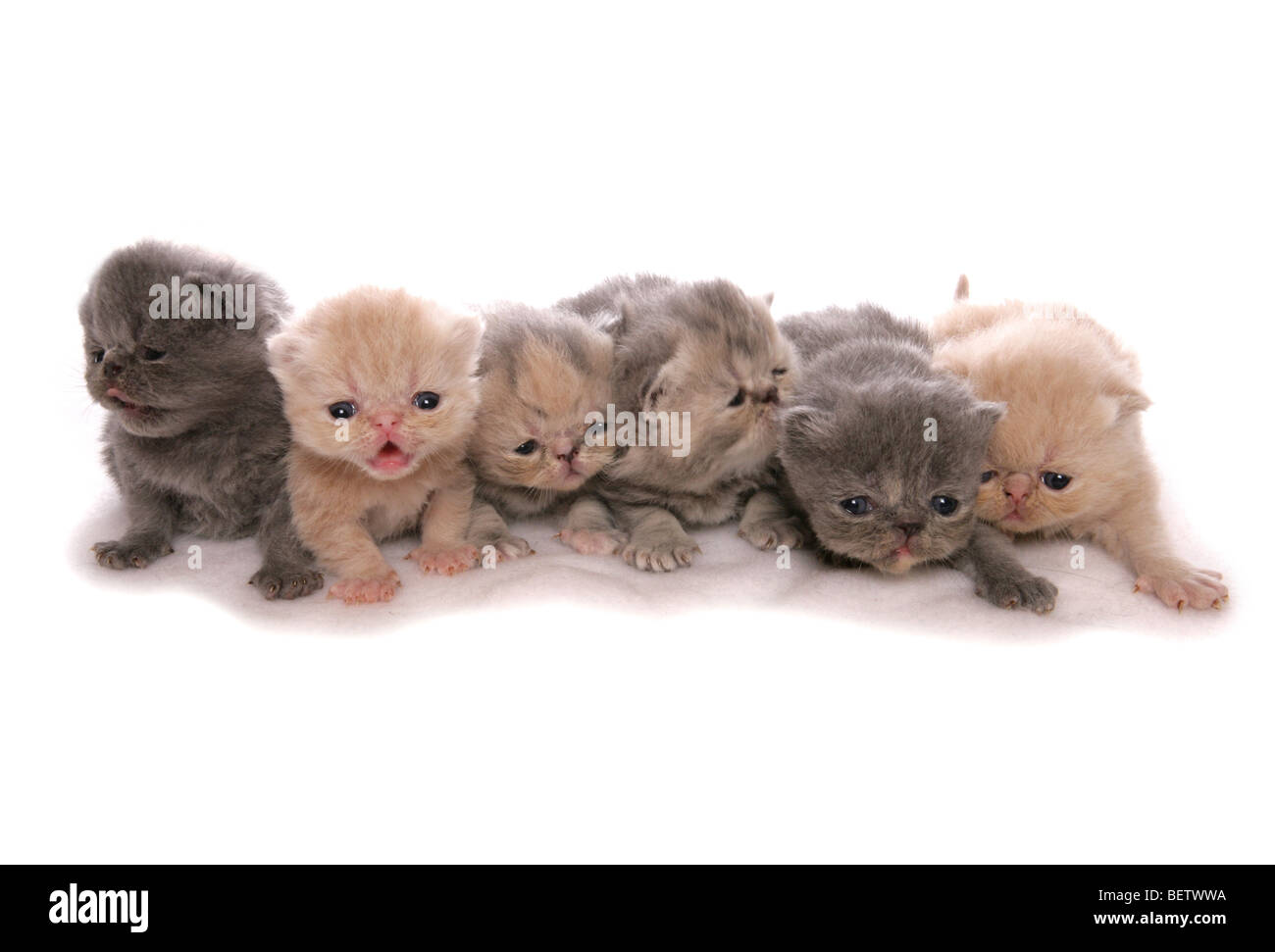 Exotic Shorthair Kittens Stock Photos & Exotic Shorthair Kittens