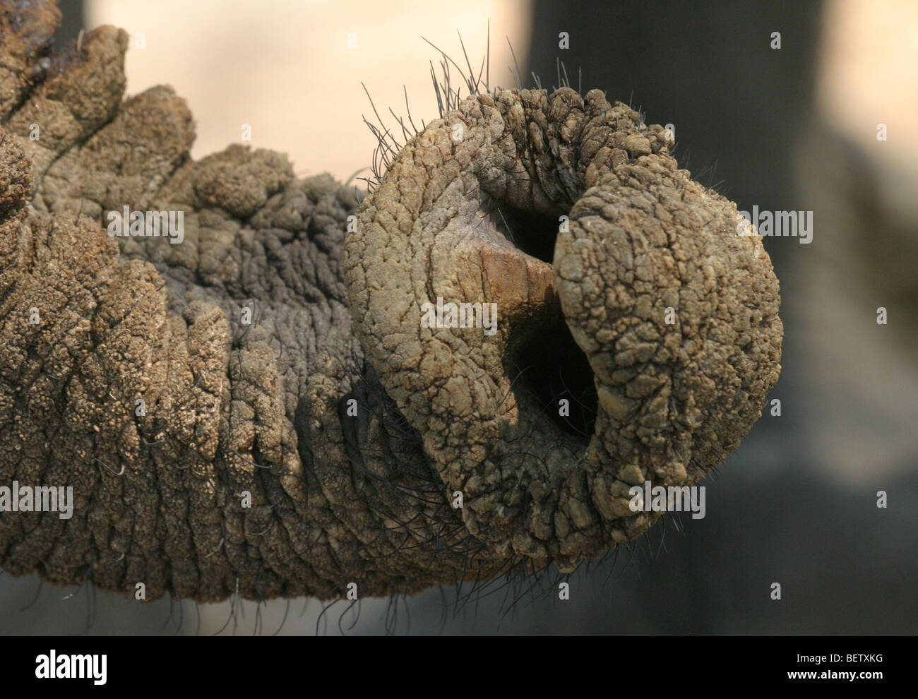 Appendages at the end of an African elephant trunk in Hwange National Park, Zimbabwe - Stock Image