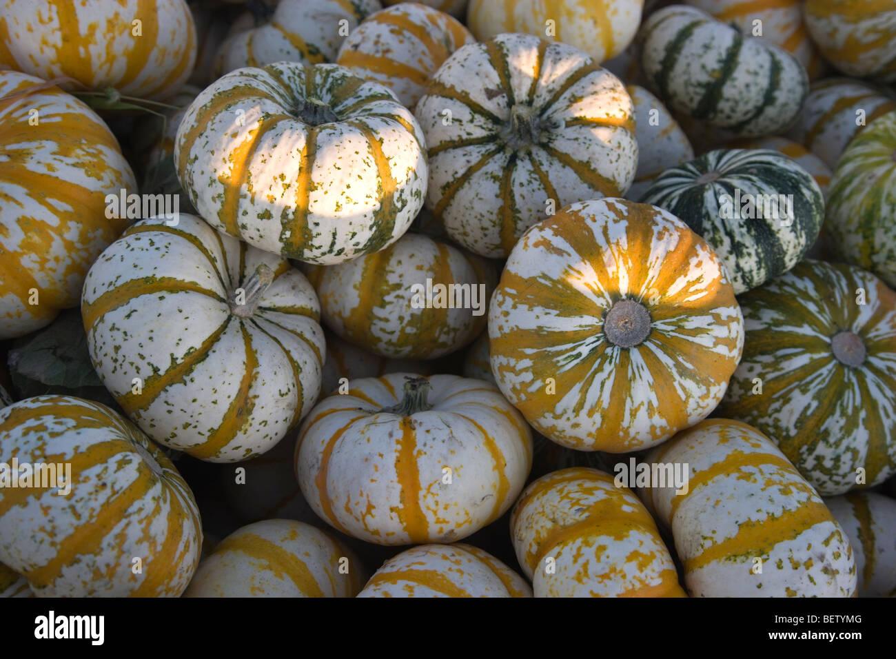 Harvested  Lil' Tiger Stripe Pumpkins, - Stock Image