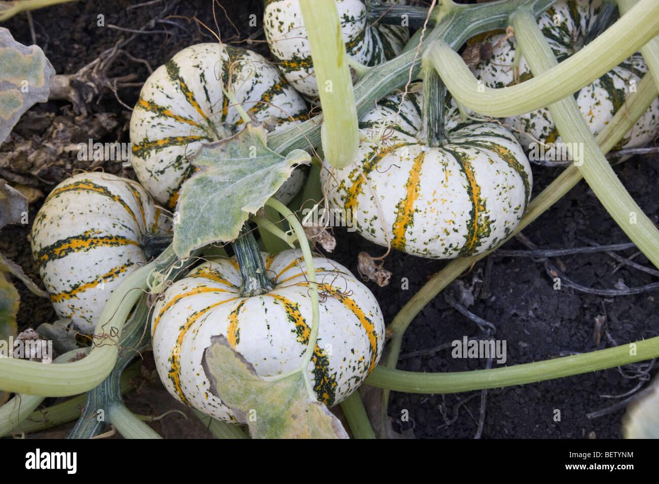 Lil' Tiger Stripe Pumpkins maturing on vine, - Stock Image