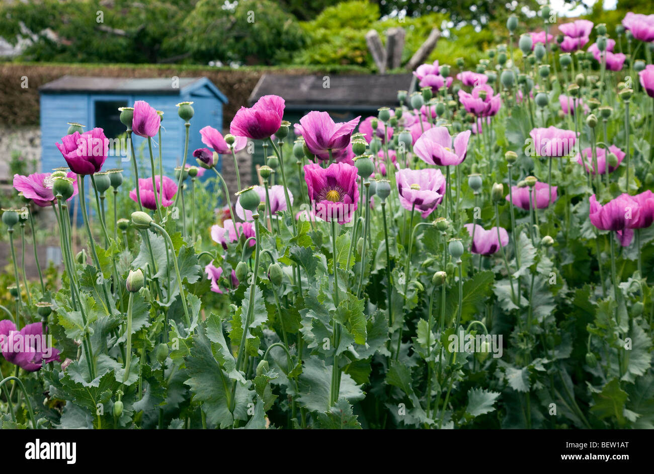 Crop of purple Poppies in an English county garden - Stock Image