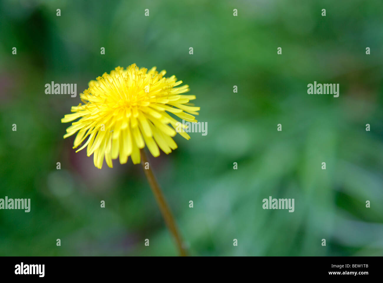 A single dandelion flower. - Stock Image