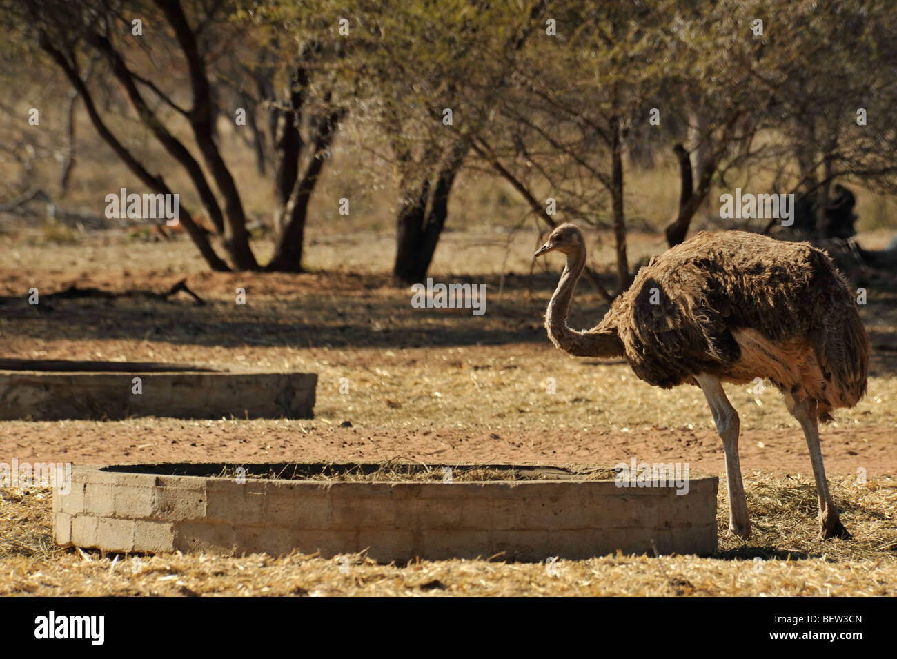 Limpopo, South Africa, female, Ostrich, Struthio camelus, standing at feeding crib, game farming, ranching, animal Stock Photo
