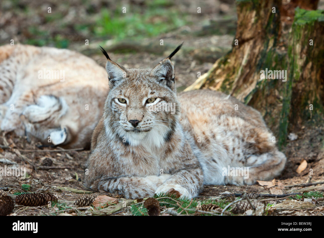 Eurasian Lynx, Lynx lynx, Bavarian Forest, Germany - Stock Image