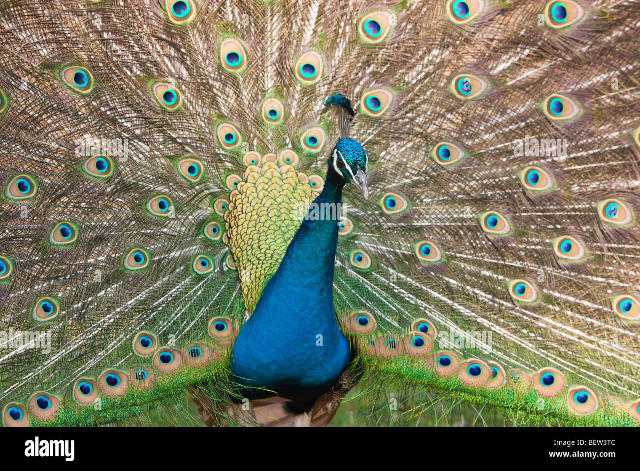 Blue Peafowl, Pavo christatus - Stock Image