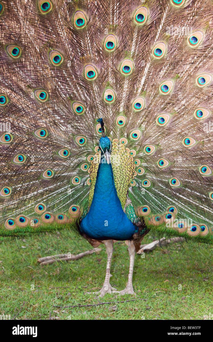 Blue Peafowl, Pavo christatus - Stock Image