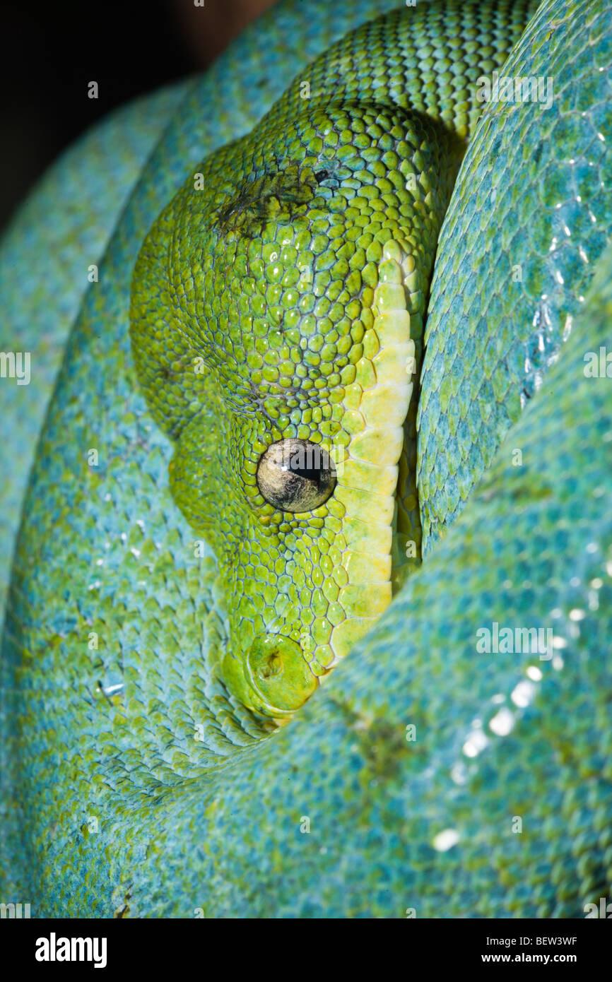 Green Tree Python, Morelia viridis, West Papua, Misool, Indonesia - Stock Image