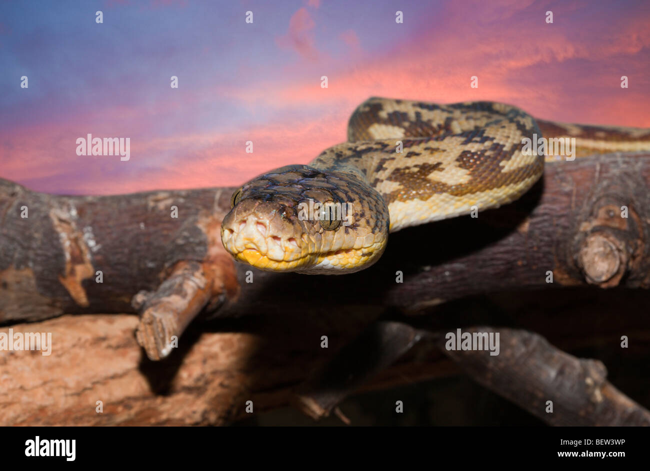 Timor Python, Python timoriensis, Timor, Lesser Sunda Islands, Indonesia - Stock Image