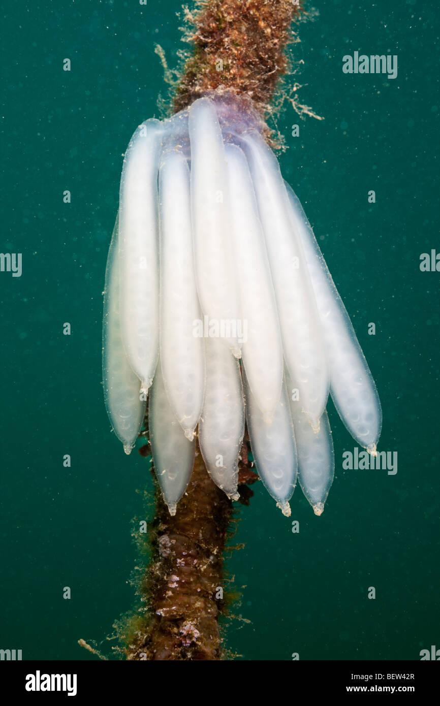 Eggmass of Squid attached on Rope, Istria, Adriatic Sea, Croatia - Stock Image