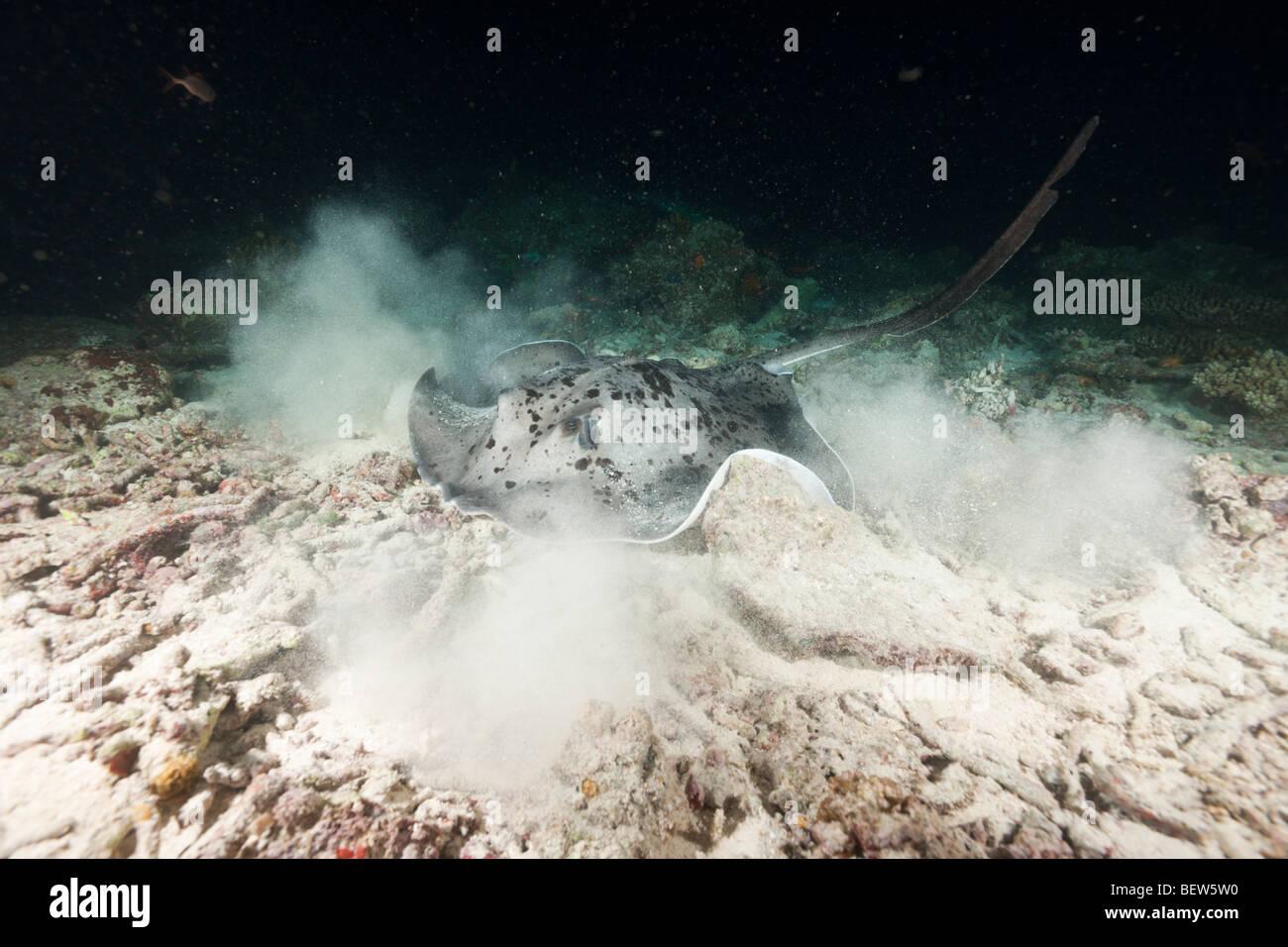 Blotched Fantail Stingray hunting at Night, Taeniura meyeni, Maya Thila, North Ari Atoll, Maldives - Stock Image