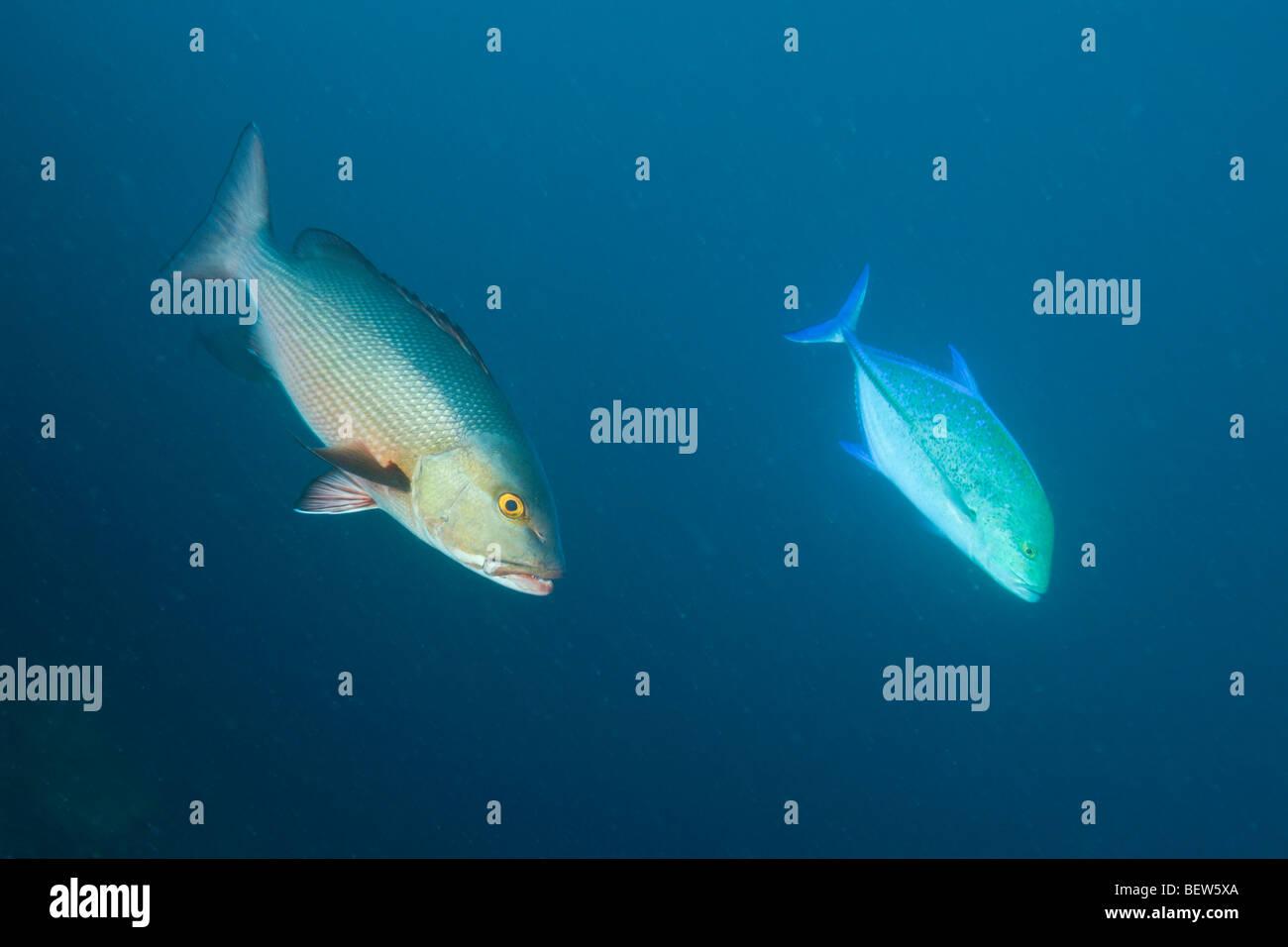 Red Reef Snapper and Bluefin Trevally, Lutjanus bohar, Caranx melampygus, Himendhoo Thila, North Ari Atoll, Maldives Stock Photo