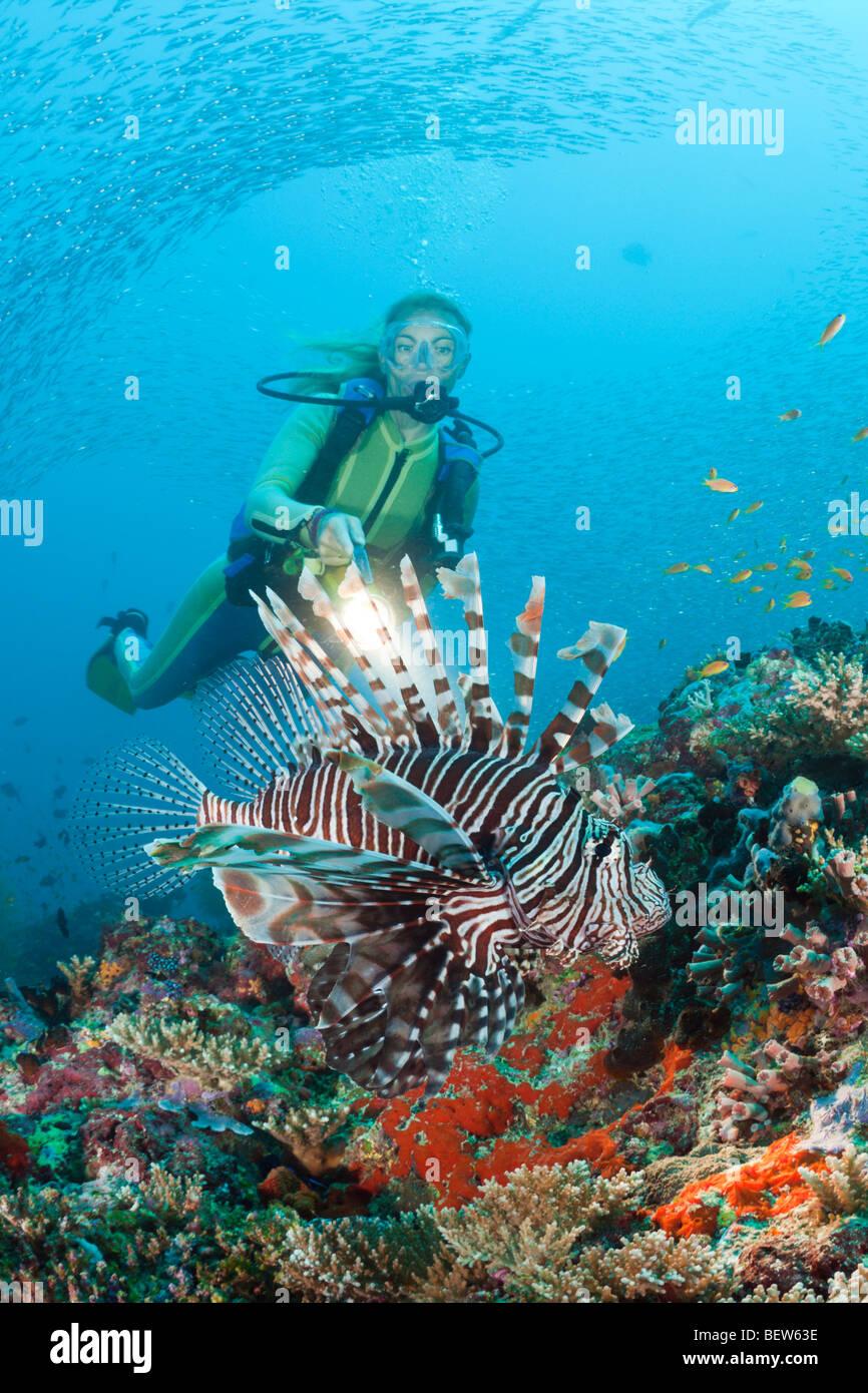 Diver and Lionfish, Pterois miles, Maya Thila, North Ari Atoll, Maldives - Stock Image