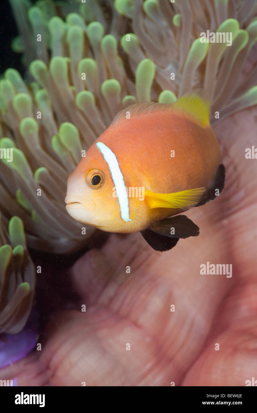 Maldive Anemonefish Magnificent Anemone Amphiprion nigripes Heteractis magnifica South Male Atoll Maldives symbiosis - Stock Image