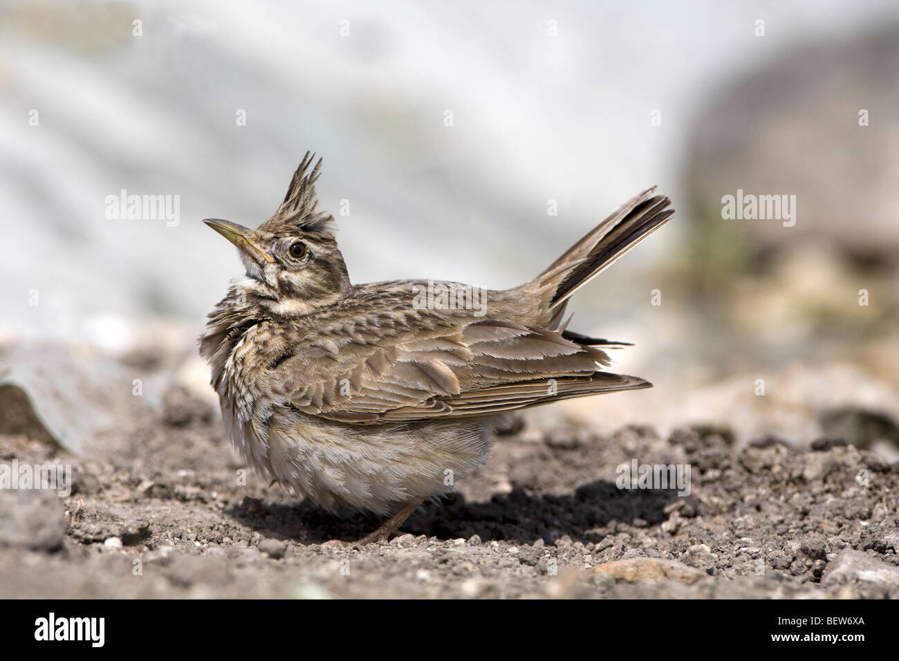 Crested Lark (Galerida cristata) perched on the ground displaying Stock Photo
