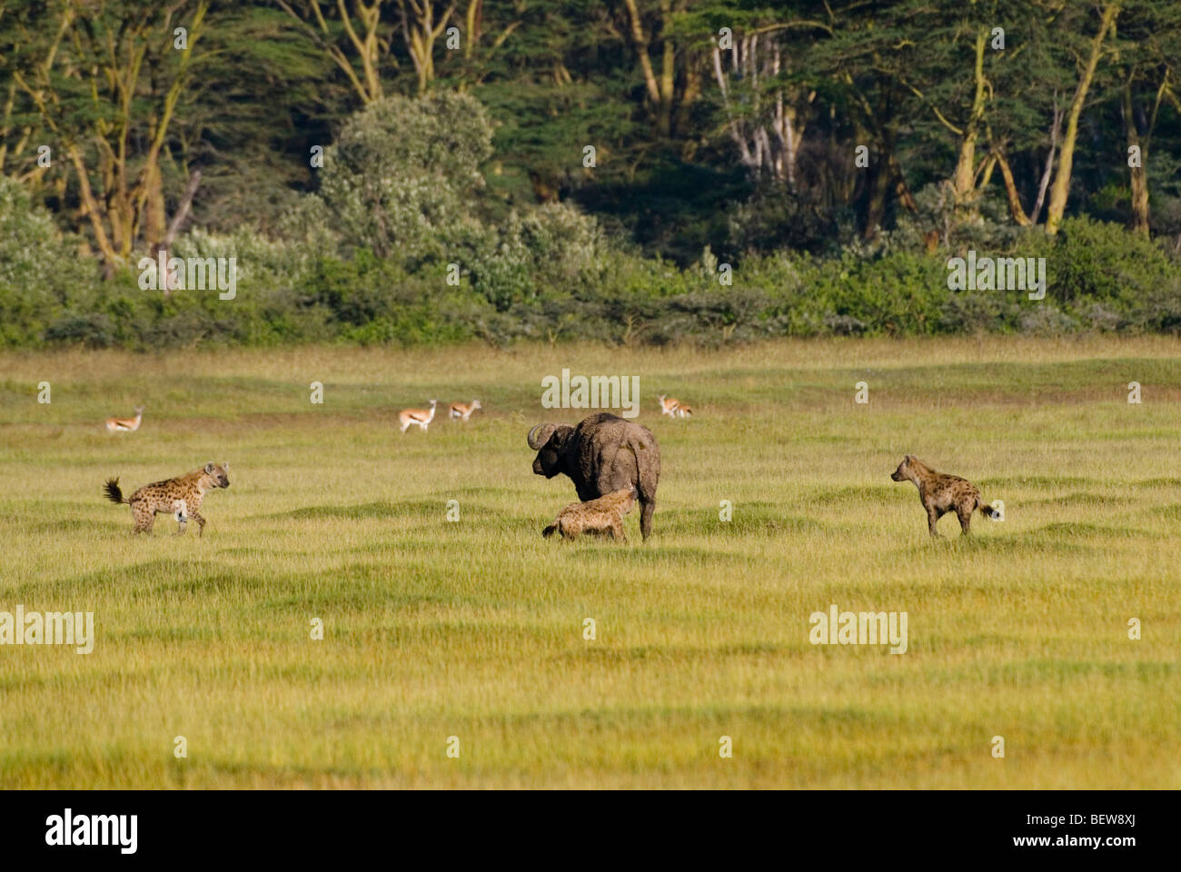 Cape buffalo (Syncerus caffer) surrounded by Spotted Hyenas (Crocuta crocuta), Lake Nakuru National Park, Kenya Stock Photo
