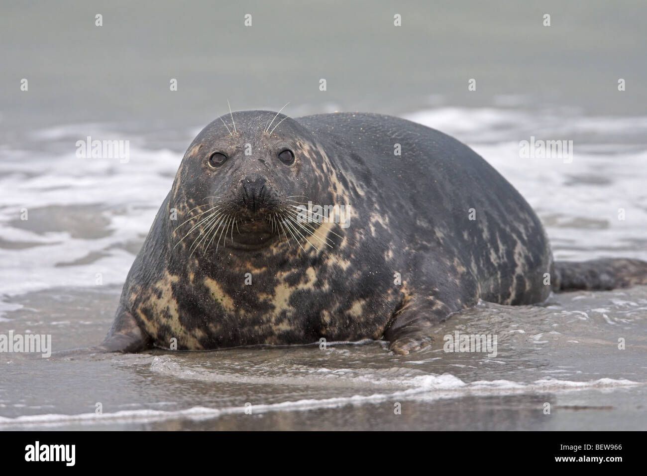 gray seal, grey seal, Halichoerus grypus, full shot Stock Photo