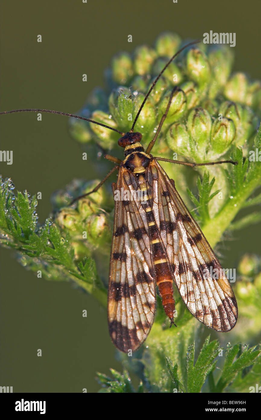 scorpion fly, panorpa spec, close-up Stock Photo