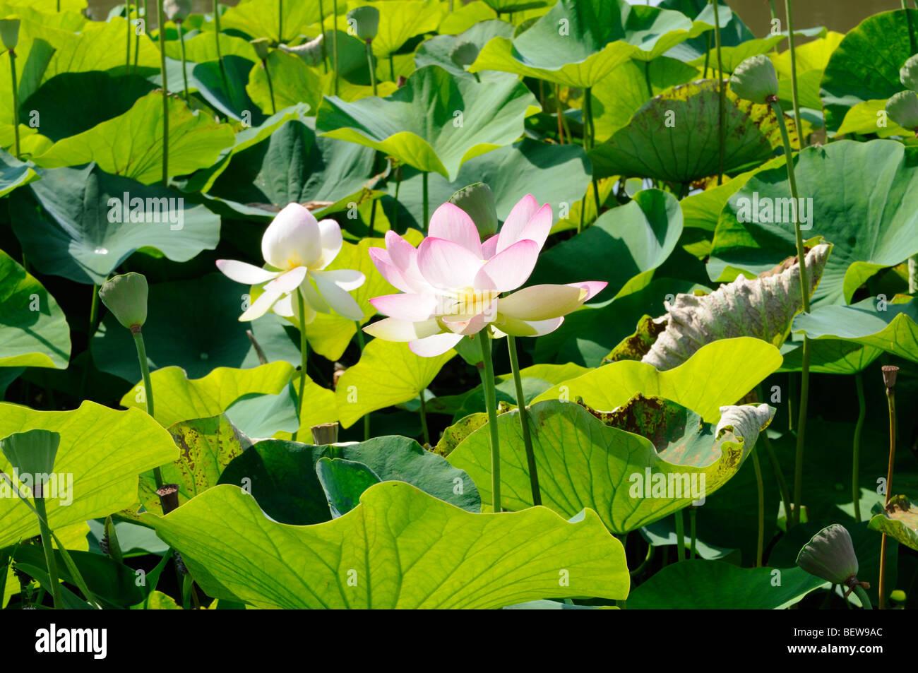 Wasserpflanze Nelumbo nucifera. - Water plant Nelumbo nucifera. Stock Photo
