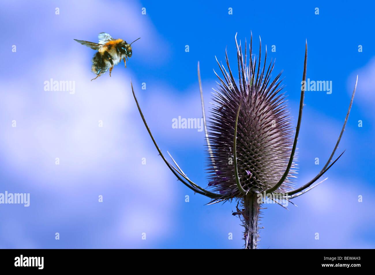Bombus lucorum flying to Dipsacus fullonum, close-up - Stock Image