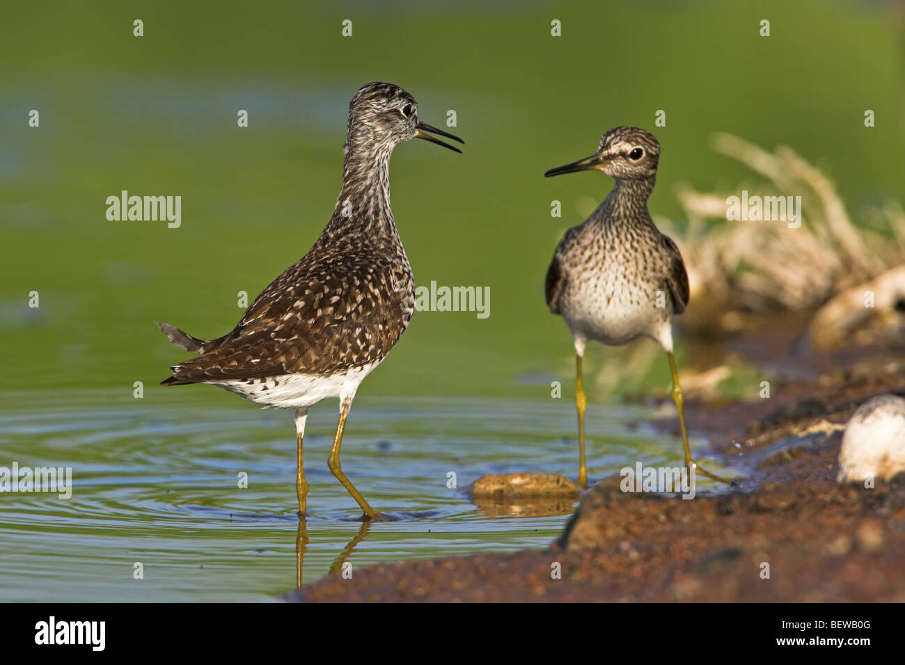 Two Wood Sandpipers (Tringa glareola) facing at the waters edge, low angle view - Stock Image