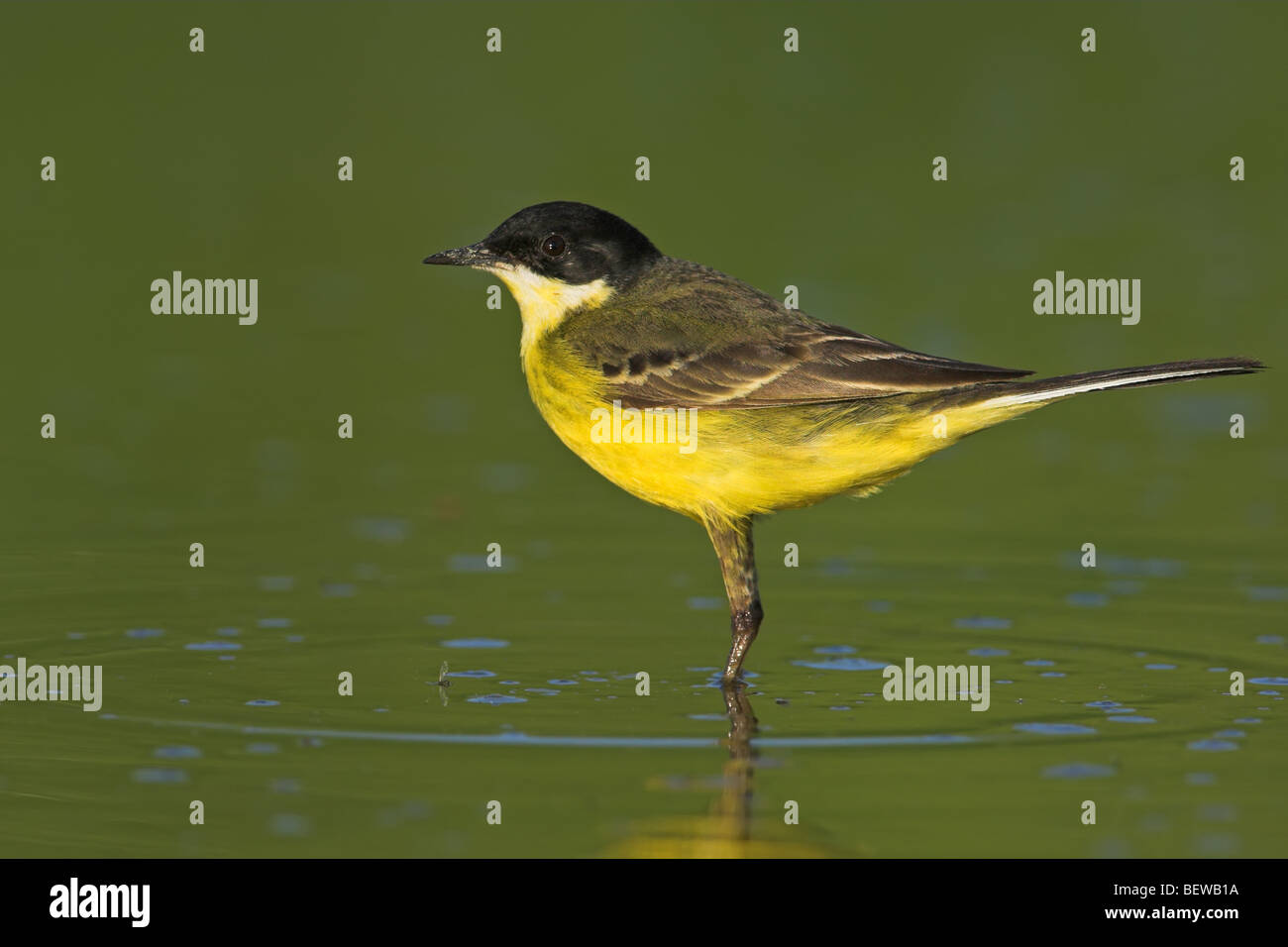 Black-headed Wagtail (Motacilla flava feldegg) standing in water, side view - Stock Image