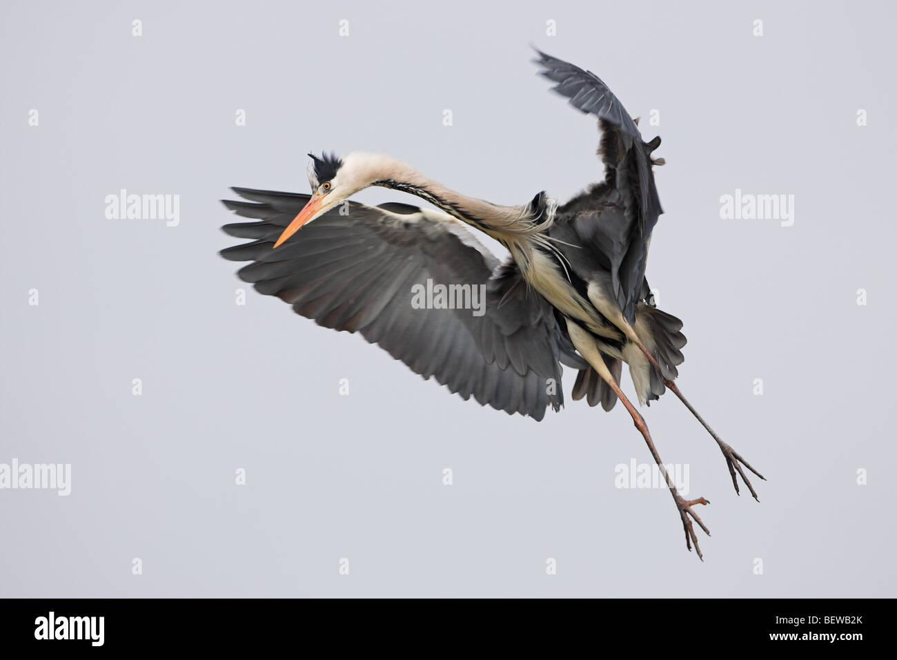 Grey Heron (Ardea cinerea) in landing approach, full-length shot - Stock Image