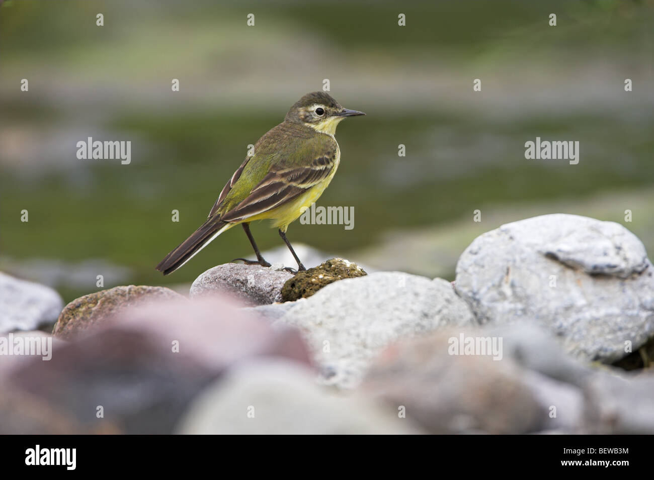 Black-headed Wagtail (Motacilla flava feldegg) sitting on waterside stone, side view - Stock Image