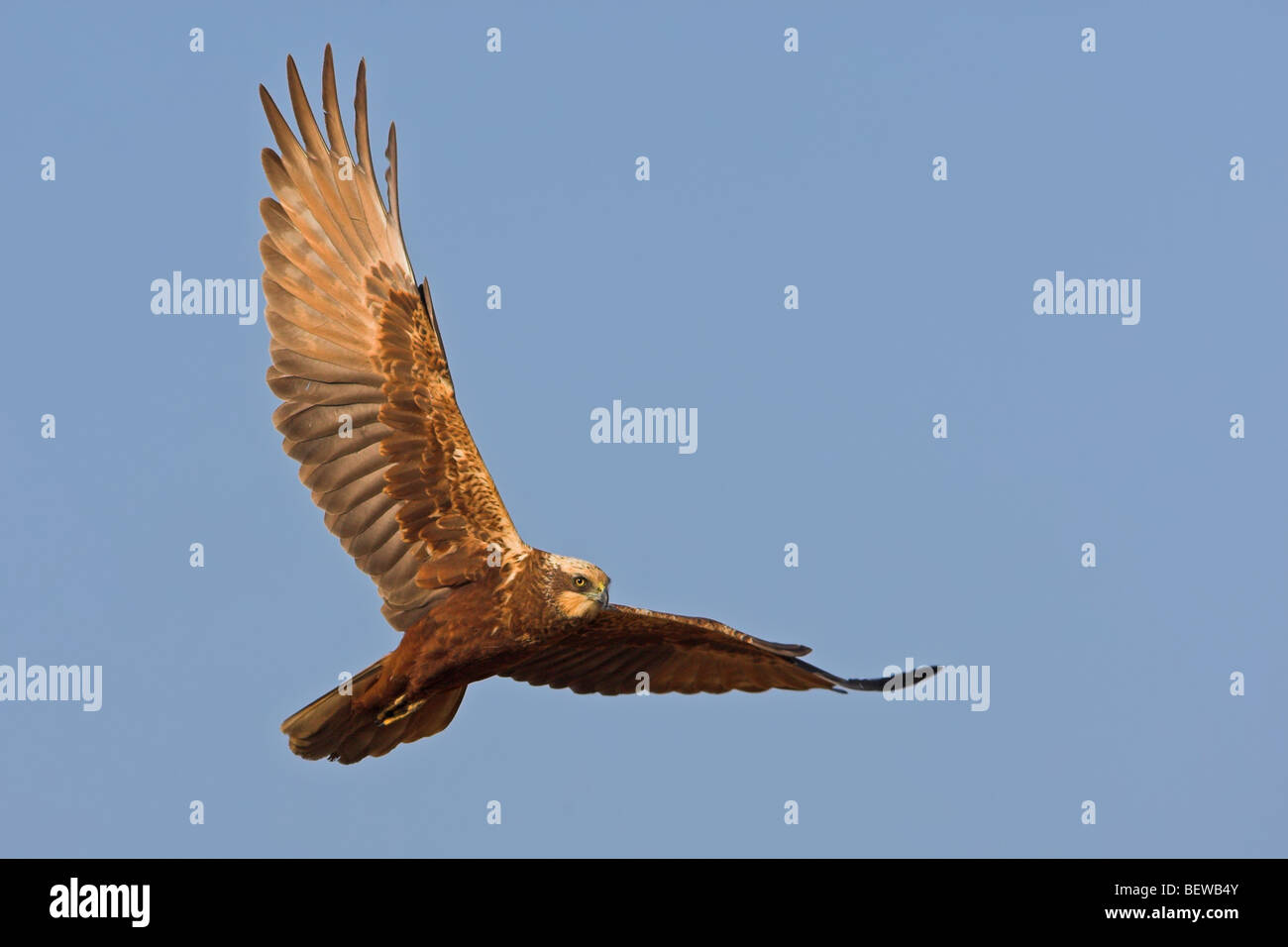 Western Marsh Harrier (Circus aeruginosus) in mid-air, view from below Stock Photo